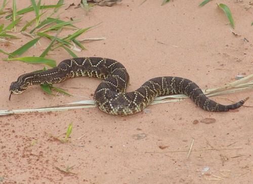 Información sobre la serpiente de cascabel 3