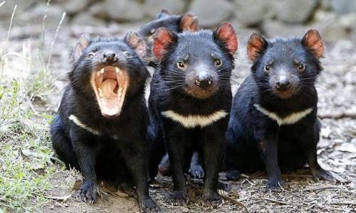 información sobre el demonio de tasmania 1