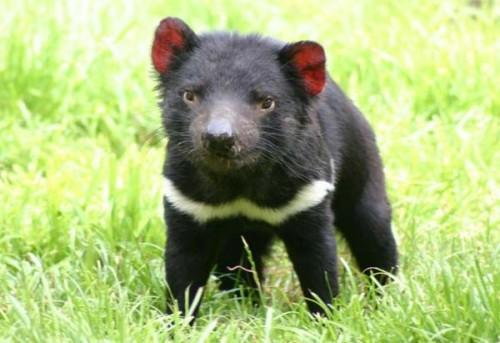 información sobre el demonio de tasmania 2