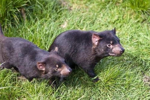información sobre el demonio de tasmania 3