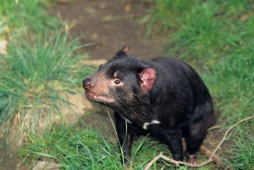 información sobre el demonio de tasmania 5