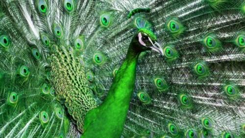 información sobre el pavo real 1