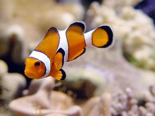 información sobre el pez payaso 1