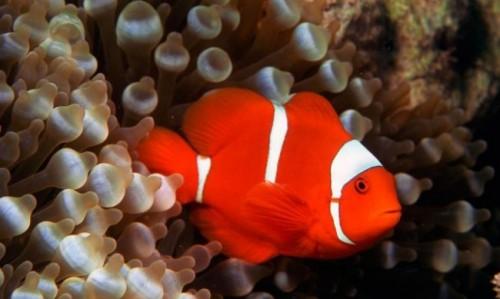 información sobre el pez payaso 2