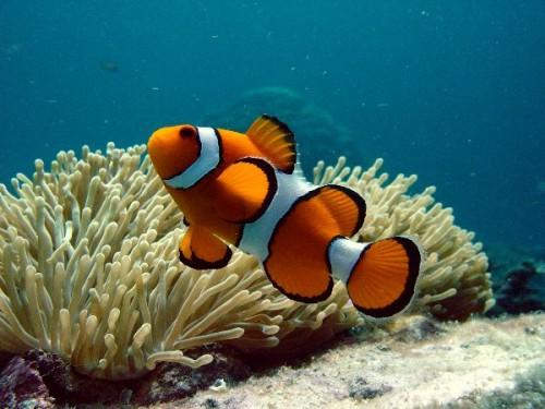 información sobre el pez payaso 5