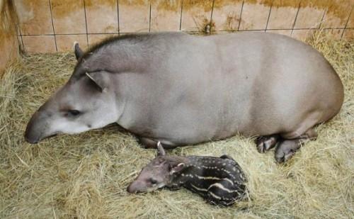 información sobre el tapir 2