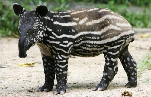 información sobre el tapir 3