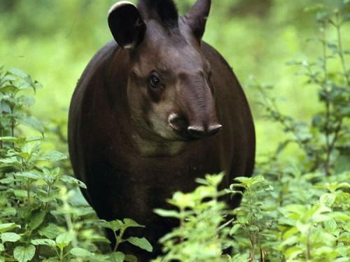 información sobre el tapir 4