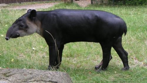 información sobre el tapir