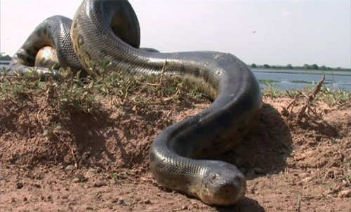 información sobre la anaconda 1