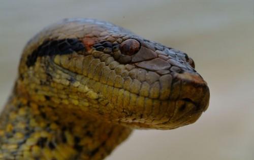 información sobre la anaconda 2