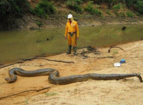 información sobre la anaconda 4