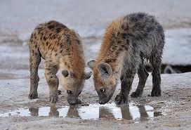 información sobre la hiena 3