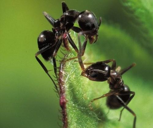 información sobre la hormiga 4