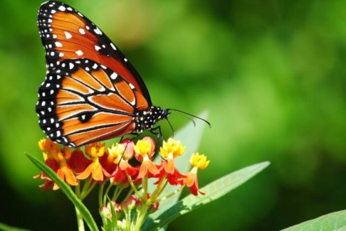 información sobre la mariposa 3