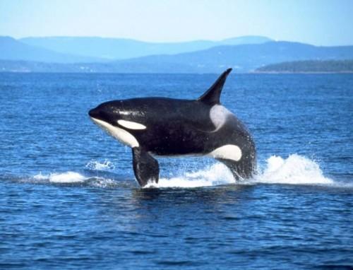 información sobre la orca 4