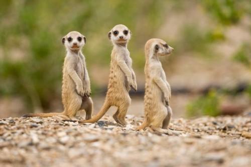 información sobre la suricata 4