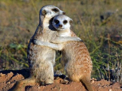 información sobre la suricata 5