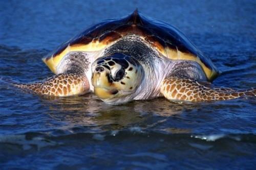 información sobre la tortuga marina 5