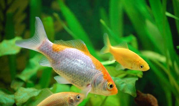 Informaci n sobre los peces informacion sobre animales for Peces de agua dulce para peceras