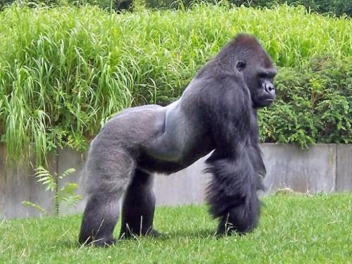 Información sobre el Gorila africano de lomo blanco 1