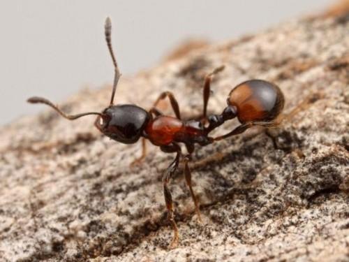 Información sobre la Hormiga Faraón 1