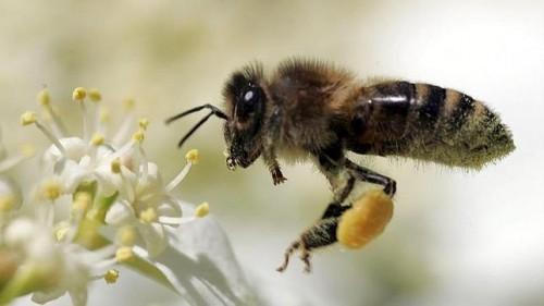 Información sobre la abeja 2