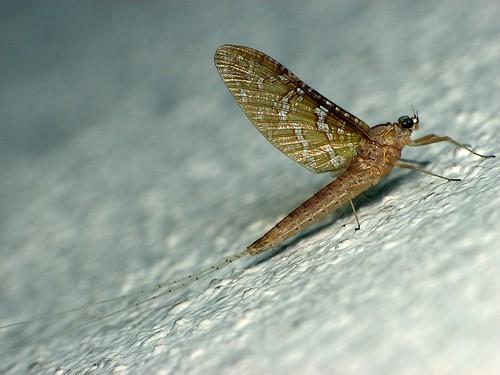 Información sobre los Efemerópteros 1