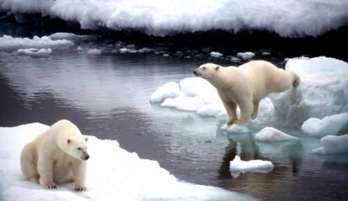 el oso polar en peligro de extinción 1