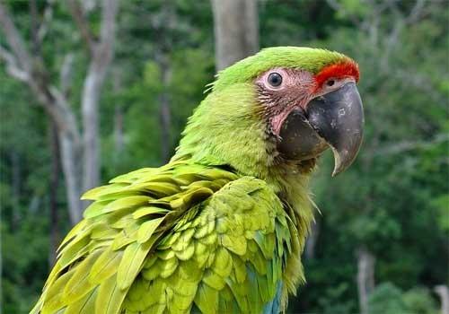 información sobre el Guacamayo glauco 1
