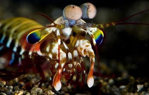 información sobre el camarón mantis 3