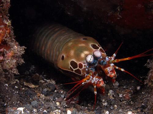 información sobre el camarón mantis 4