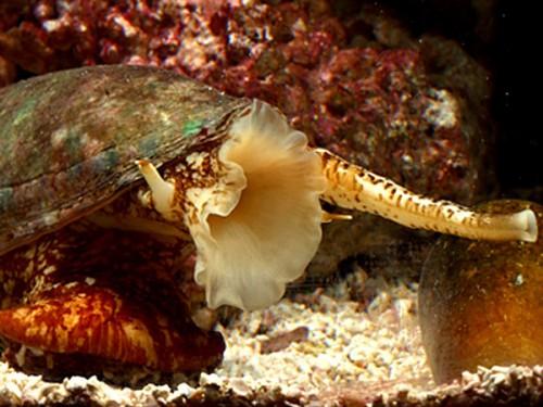 información sobre el caracol cono de marmol 1
