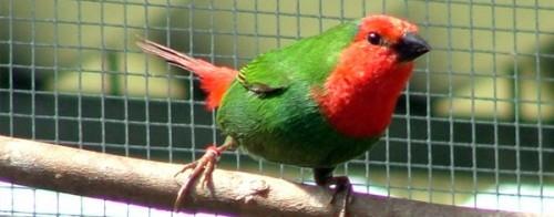 información sobre el diamante papagayo 1