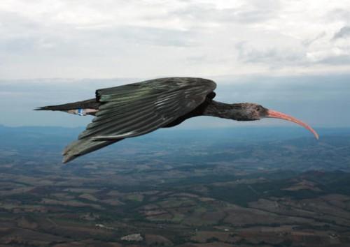 información sobre el ibis eremita 4