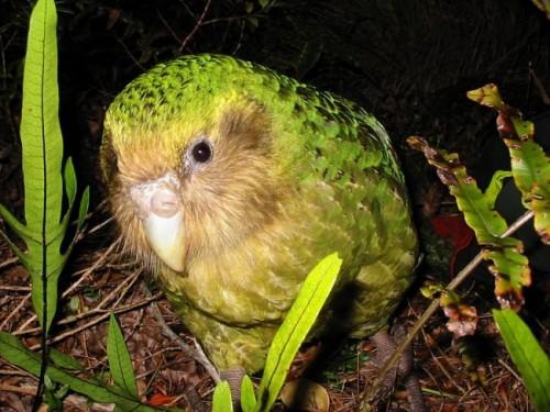información sobre el kakapo 2