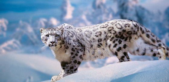 Animales Felino Leopardos Fondo De Pantalla Fondos De: Información Sobre El Leopardo De Las Nieves