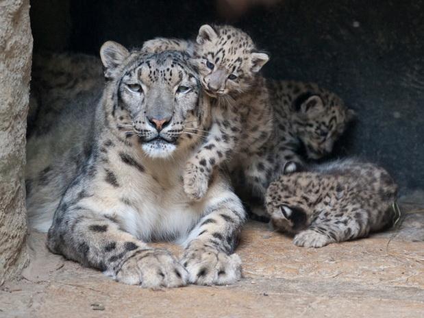 Informaci n sobre el leopardo de las nieves informacion for Todo sobre el marmol