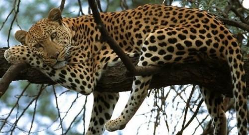 información sobre el leopardo del Amur 1