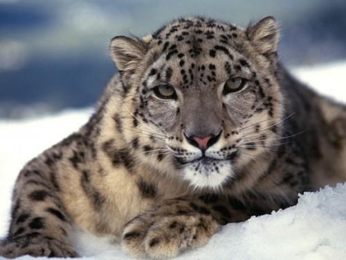 información sobre el leopardo del Amur 3