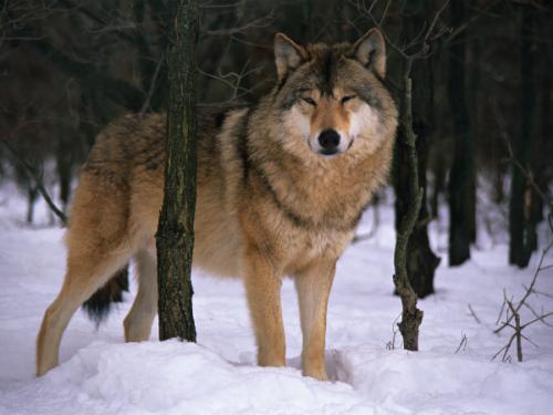información sobre el lobo 1