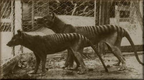 información sobre el lobo marsupial 4