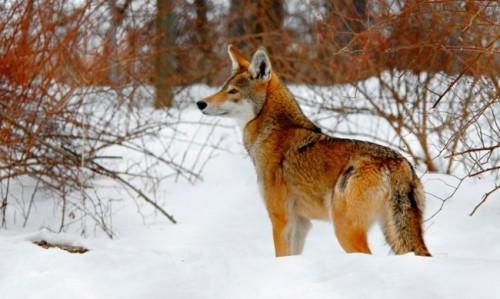 información sobre el lobo rojo 1