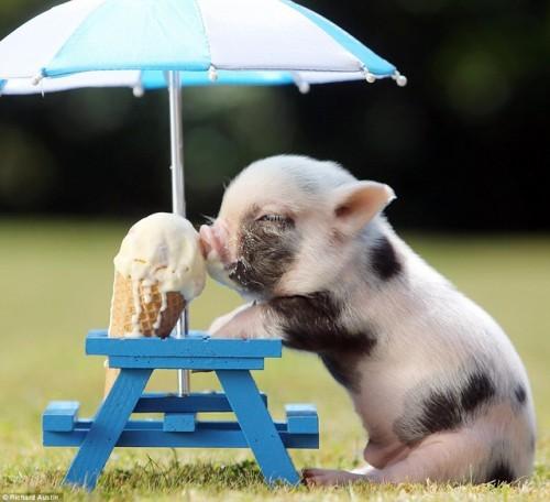 información sobre el mini pig 1