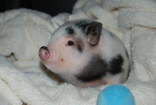 información sobre el mini pig 2