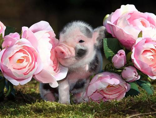 información sobre el mini pig 3