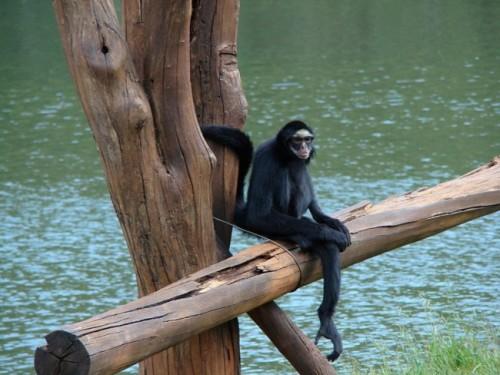información sobre el mono araña 4