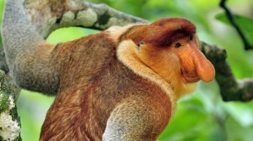 información sobre el mono narigudo 4