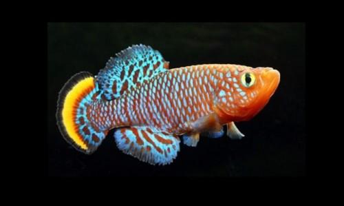 información sobre el pez killi 1
