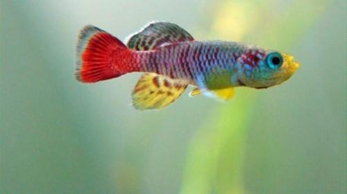 información sobre el pez killi 3